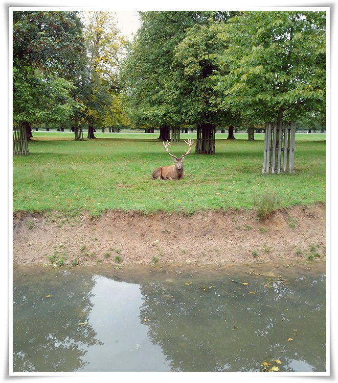bushy-park-red-deer